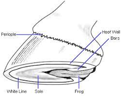 side diagram of horses hoof