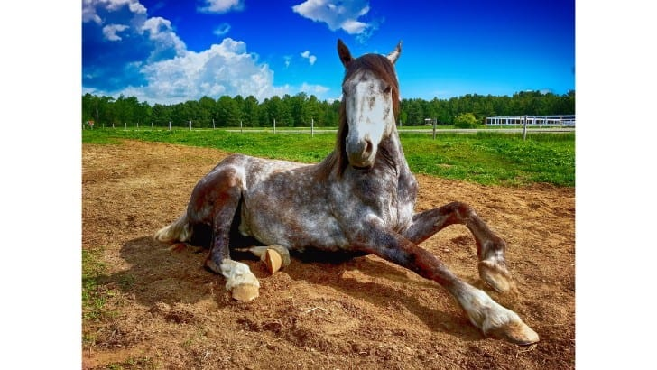horses in pain won't stand or lay normally