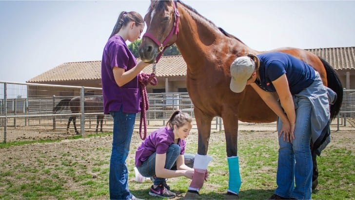 vets wrapping horse's legs
