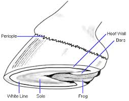 side diagram of horses hoof