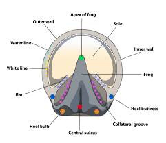diagram of horses hoof