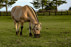 horse with grazing muzzle in pasture
