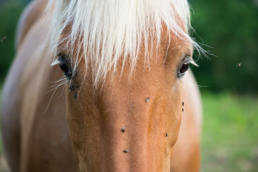 horse with flys on his head