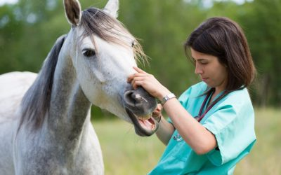 woman administering horse wormer to a gray horse